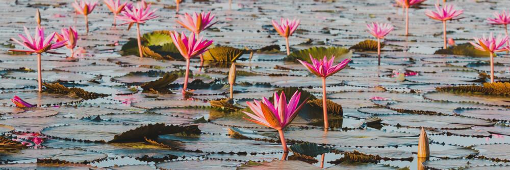 Papier peint fleur de Lotus